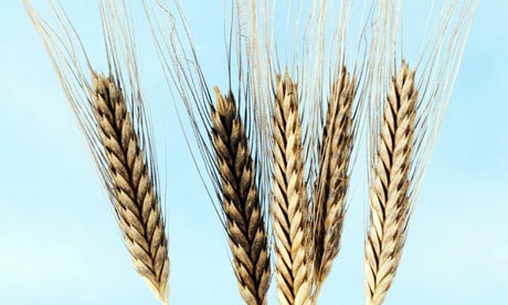 Einkorn wheat … vanished from British tables a long time ago.